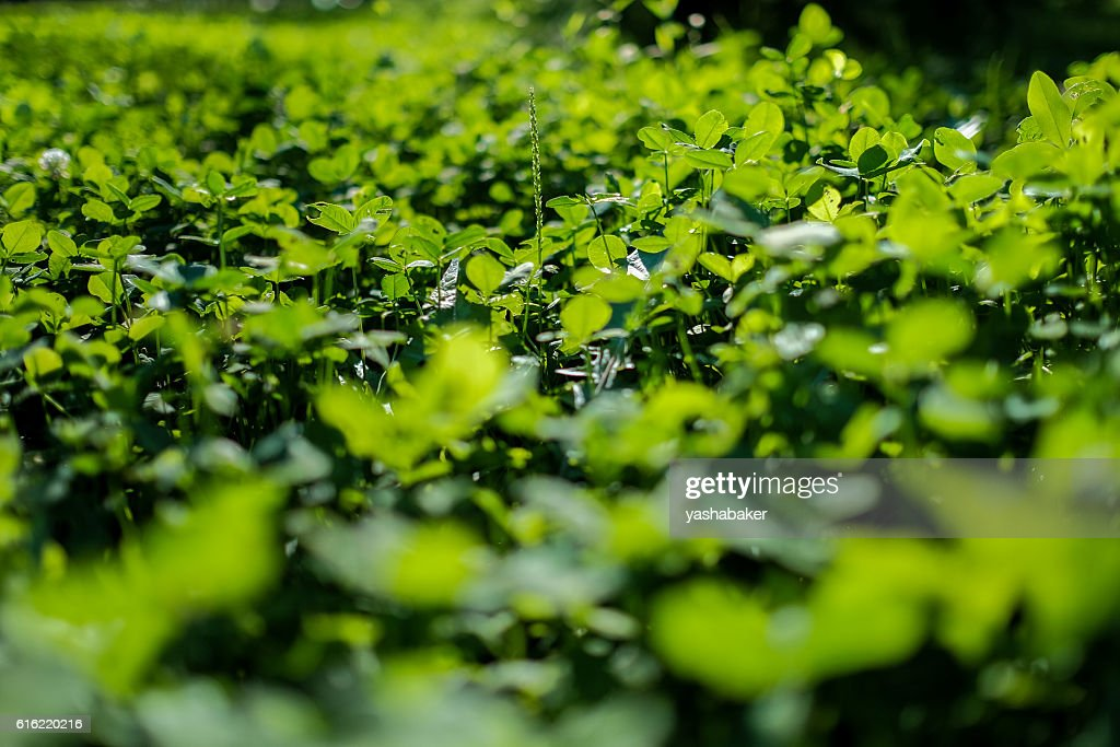 Picture of green clover field : Stock Photo