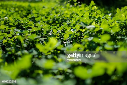 Picture of green clover field : Photo
