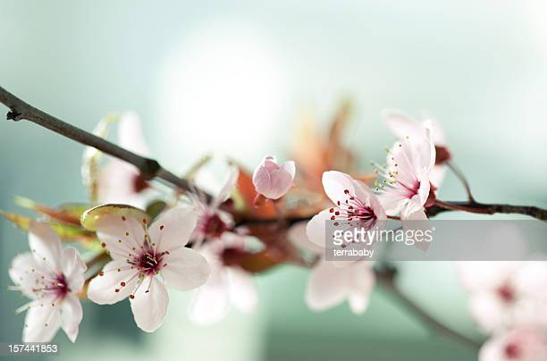 Picture of Japanese cherry blossoms