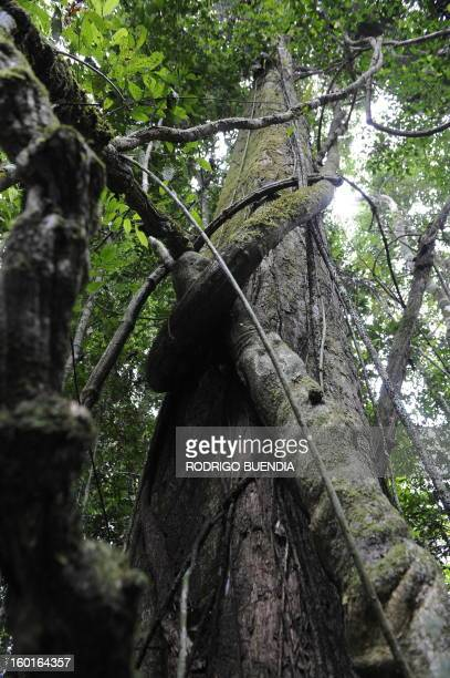 Picture of lianas taken in the Yasuni National Park in the Ecuadorean Amazon forest on August 21 2010 AFP PHOTO / RODRIGO BUENDIA