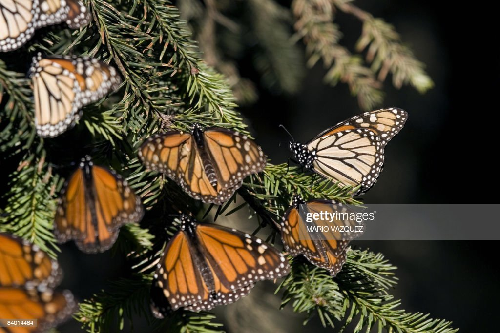 Picture of monarch butterflies taken on December 10 2008 at the Sierra del Chincua sancturay in Angangueo in the Mexican state of Michoacan Millions...