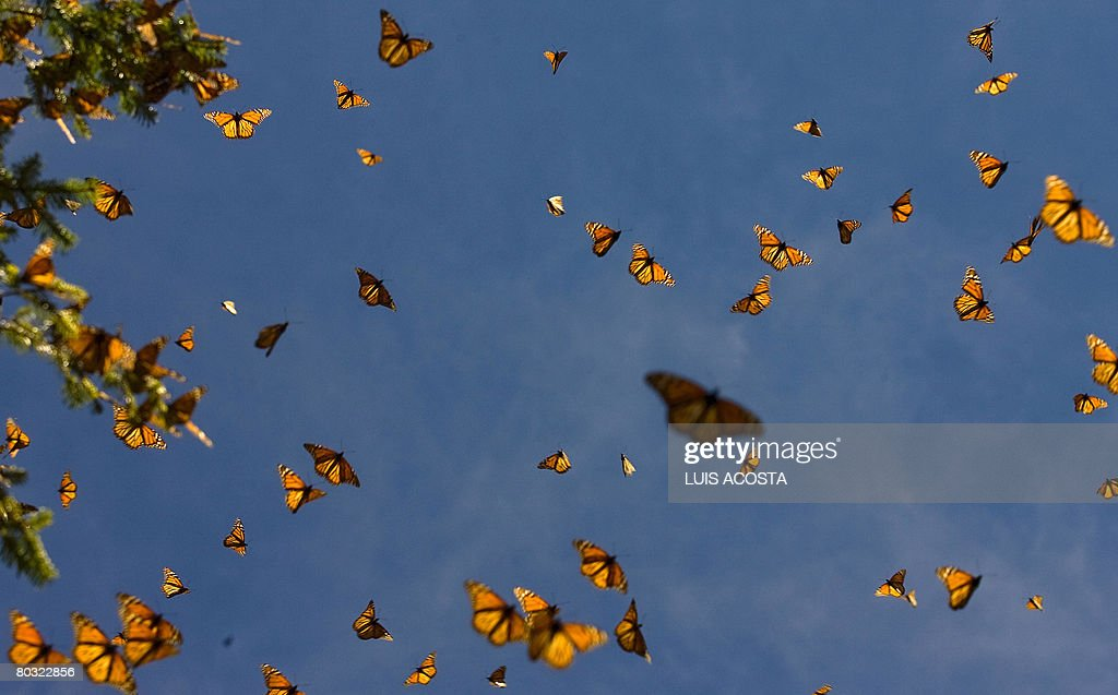Picture of monarch butterflies taken on March 18 2008 in the Oyamel forest at El Rosario sancturay in Angangueo state of Michoacan Mexico Millions of...