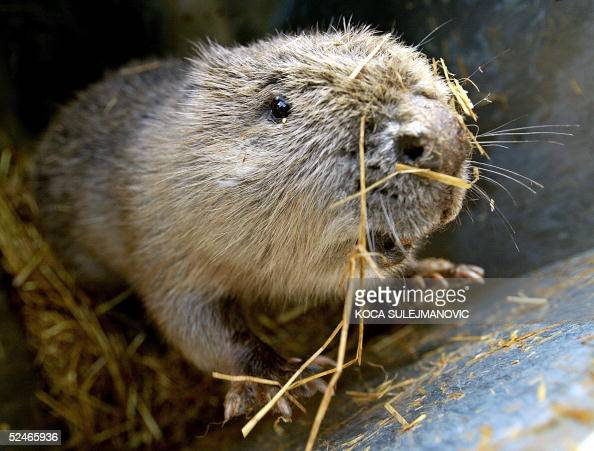 Picture of one of the 22 beavers released by local environmentalist brought from Bavaria to resettle oxbow lake Obedska Bara Nature Reserve park...