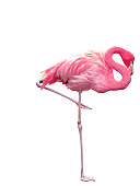 Picture of pink flamingo sleeping on one leg