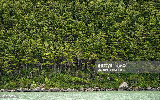 Picture of the forest near the Serrano Glacier located in the Bernardo OHiggins National Park in the Chilean Patagonia about 1960 km south of...