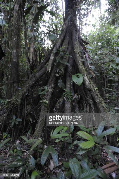 Picture of Walking Palm or Cashapona taken in the Yasuni National Park in the Ecuadorean Amazon forest on August 21 2010 AFP PHOTO / RODRIGO BUENDIA