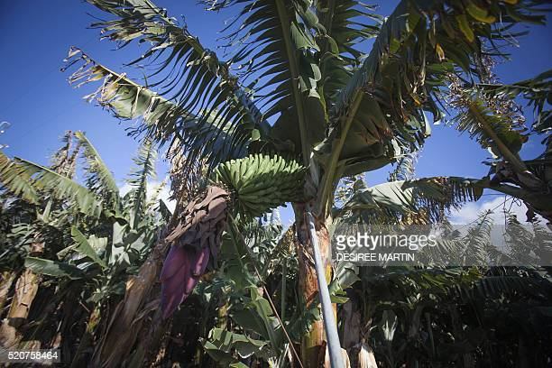 Picture shows a banana plantation in Frontera valley on the Spanish Canary island of El Hierro on March 14 2016 Pines and pineapples vie for space on...