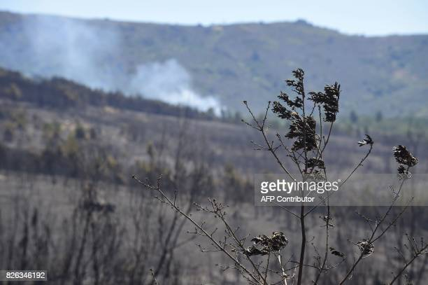 Picture shows a burnt oak tree as smoke from a wildfire raises on the background in Vilardevos northwestern Spain on August 4 2017 / AFP PHOTO /...