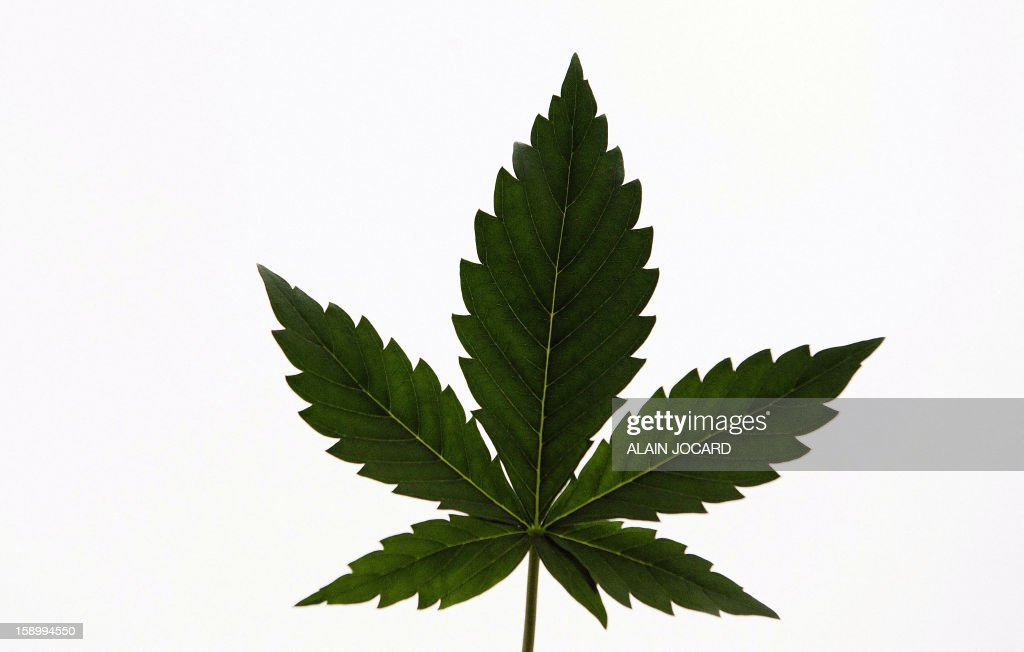 A picture shows a Cannabis leaf on January 4, 2013 in Esvres, near Tours. Since 2009, around 150 farmers gathered in 'Cannabis social clubs' to grow and to share their Cannabis plants with the intention to declare their activity at the local prefectures next February, in an 'act of civil disobedience ' said Dominique Broc, spokesperson of the project. AFP PHOTO/ALAIN JOCARD