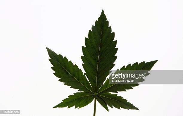 A picture shows a Cannabis leaf on January 4 2013 in Esvres near Tours Since 2009 around 150 farmers gathered in 'Cannabis social clubs' to grow and...