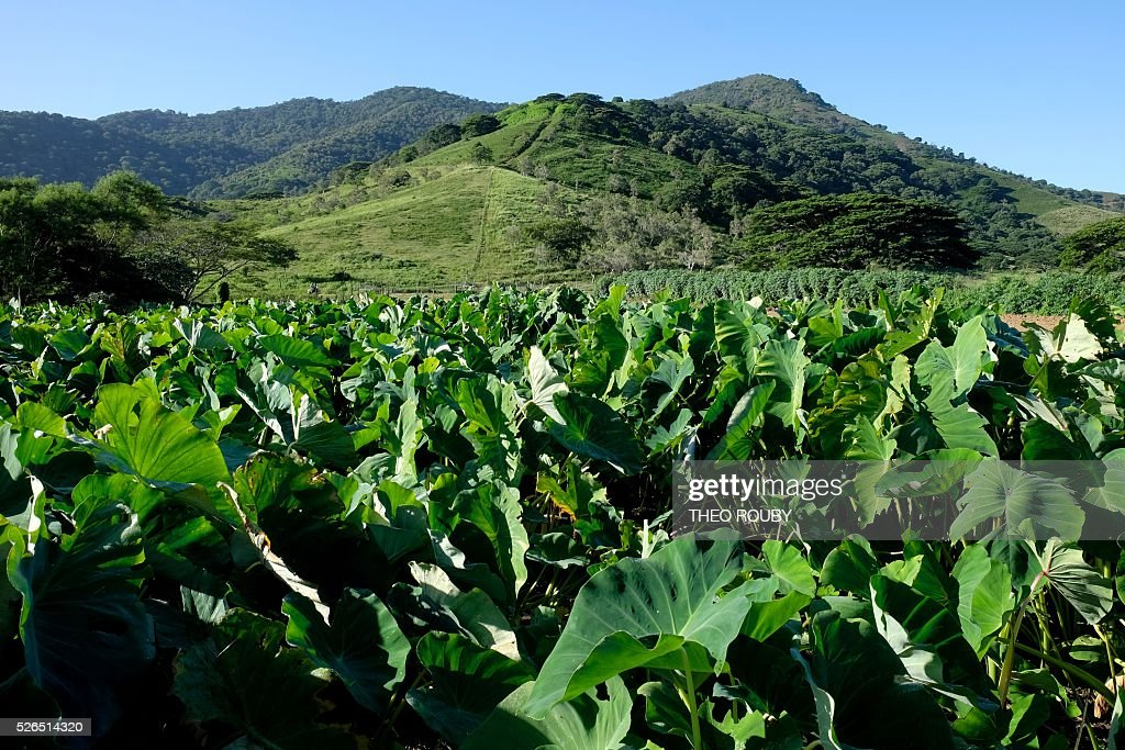 A picture shows a taro field on April 30, 2016 in La Foa, on the French Pacific territory of New Caledonia. / AFP / Th��o Rouby