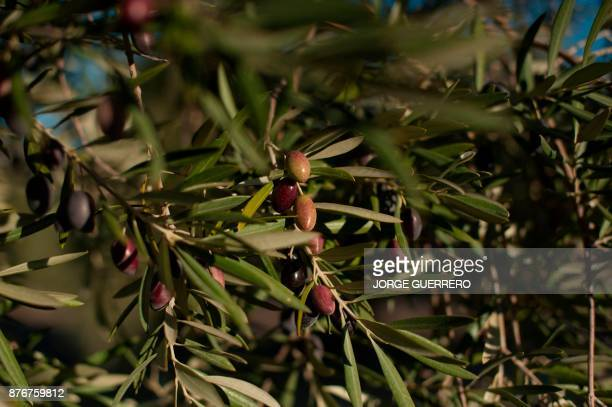 A picture shows an olive tree in droughtstricken Albanchez de Magina near Jaen on November 20 2017 Spain and Portugal are grappling with a...