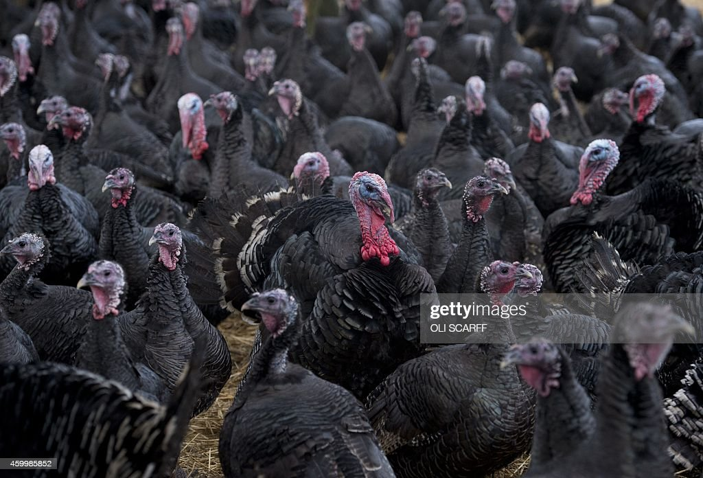 A picture shows bronzefeathered turkeys at poultry farmer Steven Peirson's Hook House Farm near Northallerton northern England on December 5 2014 The...