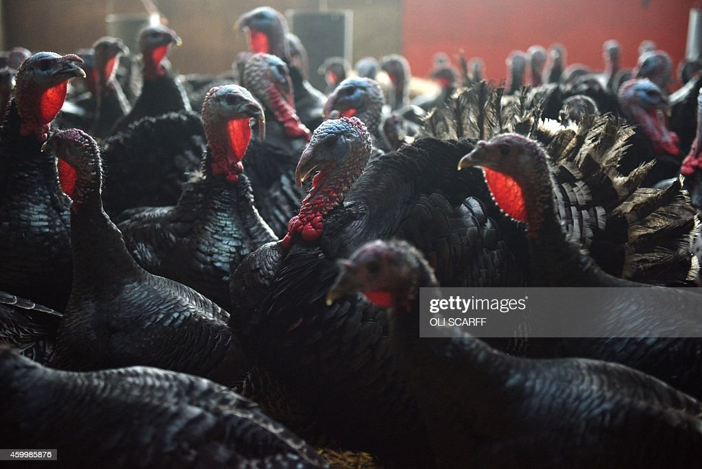 A picture shows bronzefeathered turkeys in their barn at poultry farmer Steven Peirson's Hook House Farm near Northallerton northern England on...