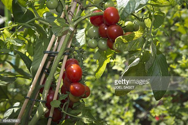 A picture shows cherry tomatoes in the vegetable garden of the Tuileries Gardens in Paris on May 31 2014 AFP PHOTO /JOEL SAGET