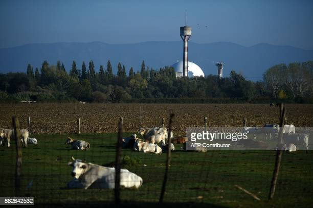 A picture shows cows in a field near the Garigliano Nuclear Power Plant located at the outskirts of Sessa Aurunca 160km southern Rome on October 16...