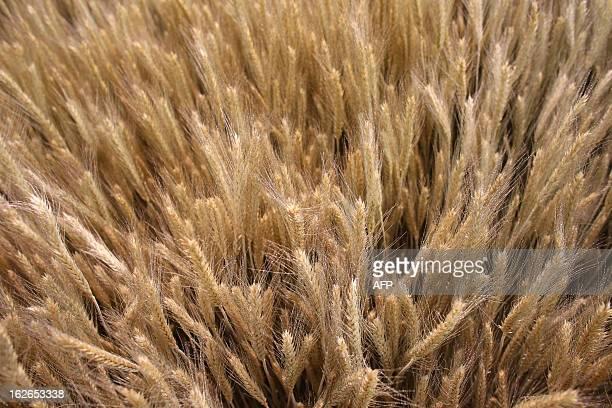 A picture shows ears of barley at the International Agriculture Fair of Paris at the Porte de Versailles exhibition center on February 25 2013 in...