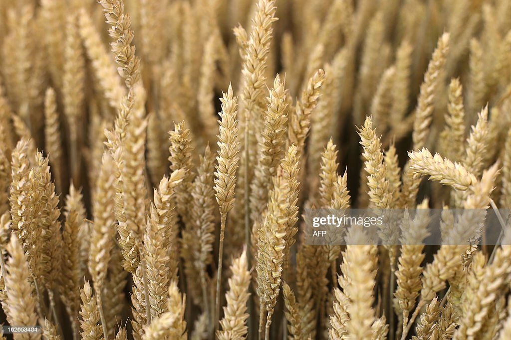 A picture shows ears of wheat at the International Agriculture Fair of Paris at the Porte de Versailles exhibition center, on February 25, 2013 in Paris. Some 1,300 exhibitors and 4,000 animals attend the fair which runs from from February 23 to March 3, 2013.