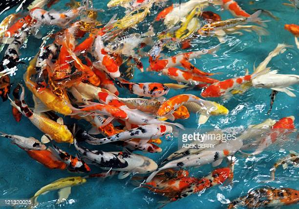 A picture shows koi fish at an animal market in Jakarta on August 18 2011 AFP PHOTO / ADEK BERRY