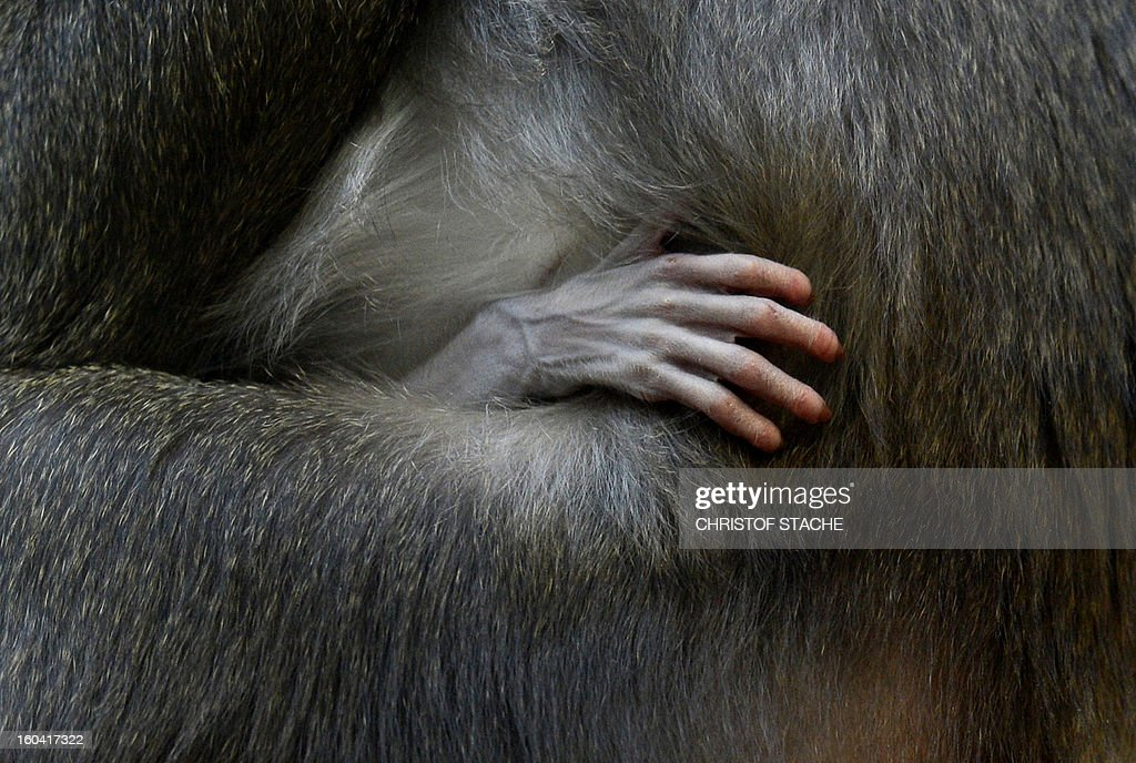 Picture shows one hand of the one week young Drill baby which is held by its mother Kaduna in the primate enclosure in the zoo of Munich Hellabrunn, southern Germany, on January 31, 2013. The Drill monkey baby was born in the zoo on January 24, 2013. The Drill's are in danger of extinction in Africa.