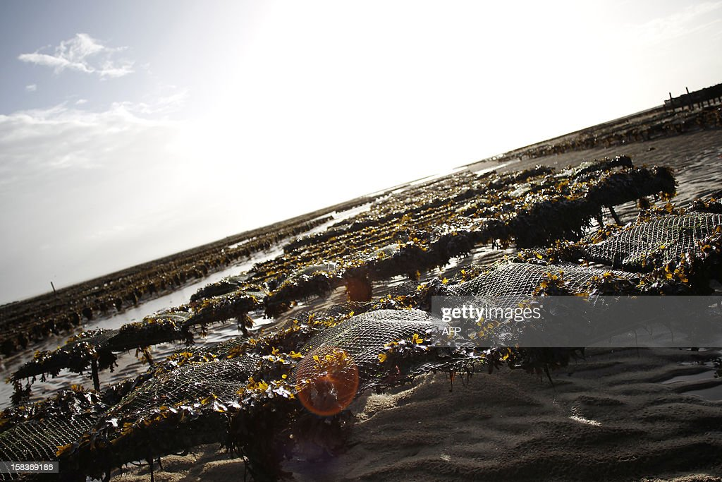 A picture shows oyster beds on December 14, 2012, in Agon-Coutainville, northwestern France.