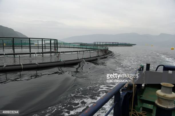 Picture shows submerged salmons cages at a farm of Norwegian world's largest salmon producer Marine Harvest on September 11 2014 in Indre Oppedal 100...