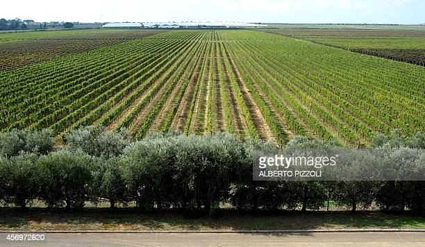 PALASCIANO A picture shows the Casale Del Giglio vineyard in the small village of Borgo Le Ferriere near Nettuno south of Rome on October 8 2014 The...