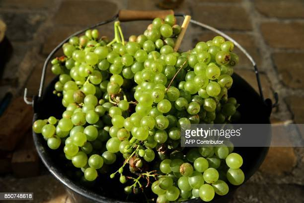 A picture shows verjus grapes harvested from a 300yearold grapevine at former Jesuit secondary school in Reims eastern France on September 21 2017...