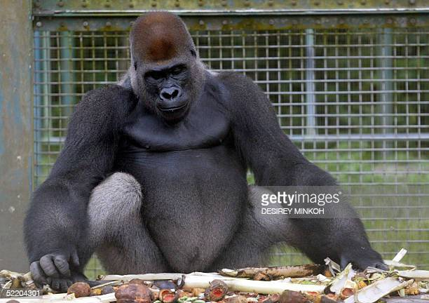 A picture taken 08 February 2005 shows a gorilla in a cage in the Lefini reserve some 140km north of Brazzaville a few days before he was set free...
