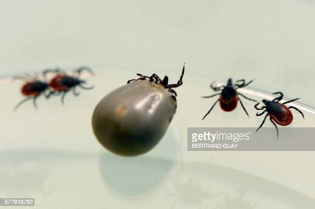 A picture taken at the French National Institute of Agricultural Research in MaisonAlfort on July 20 2016 shows ticks whose bite can transmit the...