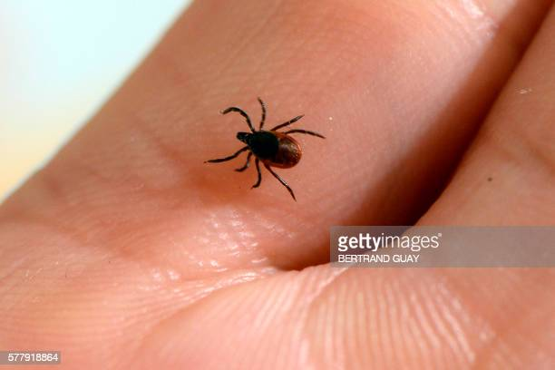 A picture taken at the French National Institute of Agricultural Research in MaisonAlfort on July 20 2016 shows a tick whose bite can transmit the...
