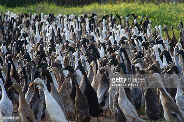 A picture taken at Vergenoegd wine estate on June 3 2016 near Stellenbosch shows a trained duckherd of approximately 1000 Indian Runner ducks on...