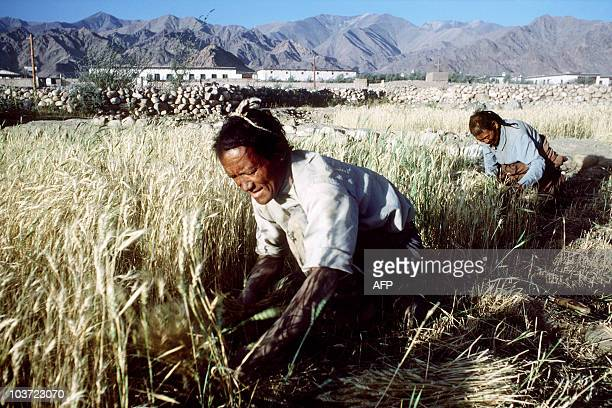 Picture taken in September 1982 illustrating the barley picking by Tibetans near choglamsar refugees village