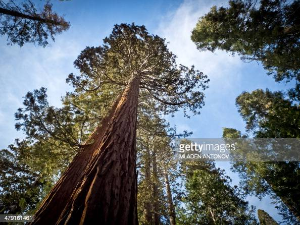 A picture taken March 08 2014 shows a Giant Sequoia at Yosemite National Park Over 37 million people visit Yosemite each year as most spend their...