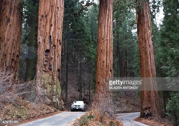 A picture taken March 09 2014 shows a car passing next to Giant Sequoia trees at Sequoia National Park in California The park located in Sierra...