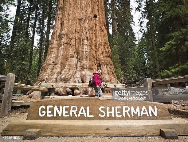 A picture taken March 09 2014 shows a tourist posing for a photo next to the General Sherman Giant Sequoia at Sequoia National Park in California...