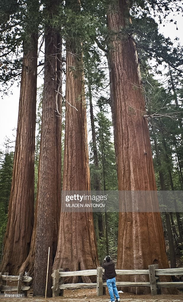 A picture taken March 09 2014 shows Giant Sequoia trees at Sequoia National Park in California The park located in Sierra Nevada mountain is famous...