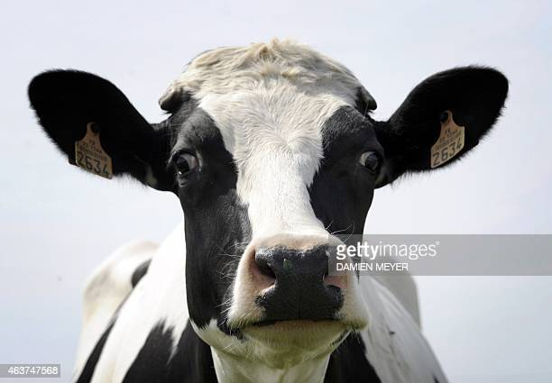 Picture taken of a cow on April 14 in a field in PlessixBalisson western France AFP PHOTO DAMIEN MEYER