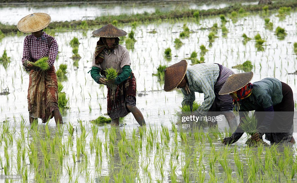 A picture taken on 27 August 2007 shows female farmers work at a rice field in Taung Pyone near Myanmar's central city of Mandalay. The Economist Intelligence Unit, a London-based research firm, has estimated Myanmar's economy has actually contracted by 2.0-3.0 percent from 2003 to 2005, and the IMF has put inflation at nearly 40 percent. AFP PHOTO