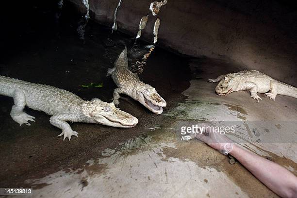 A picture taken on April 12 2012 shows a person feeding white albino alligators at the Alligator Bay zoological park in Beauvoir western France Three...