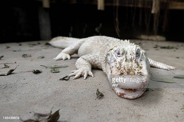 A picture taken on April 12 2012 shows a white albino alligator at the Alligator Bay zoological park in Beauvoir western France Three albino...