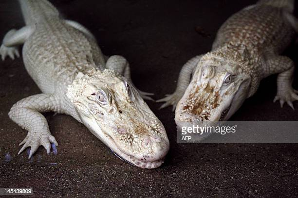 A picture taken on April 12 2012 shows white albino alligators at the Alligator Bay zoological park in Beauvoir western France Three albino...