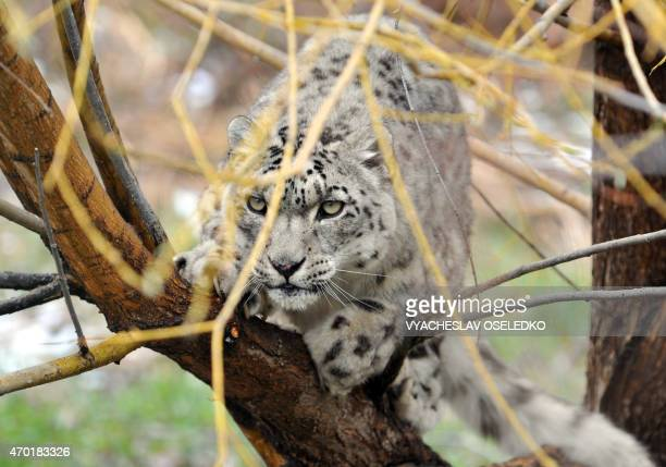 A picture taken on April 17 2015 shows a Snow Leopard at the NABU center a German organization that aims at reintroducing the panther and fighting...
