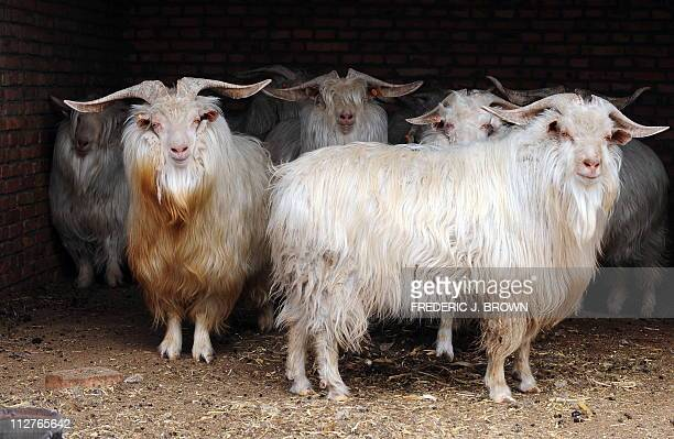 A picture taken on April 20 2011 shows Cashmere goats raised for their wool at a farm in Ordos in Inner Mongolia northwest China The finest cashmere...