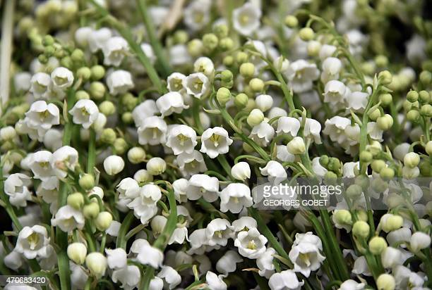 A picture taken on April 22 2015 shows Lily of the Valley plants at a horticultural farm in La ChapelleBasseMer close to Nantes in anticipation of...