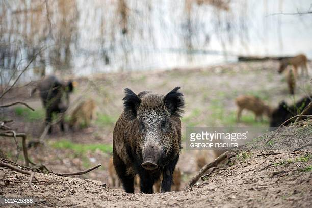 Picture taken on April 5 2016 shows wild boars in a forest in Berlin's Tegel district / AFP / dpa / Gregor Fischer / Germany OUT