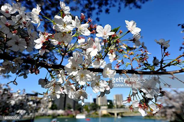 A picture taken on April 7 2013 shows blooming Sakura in Eur Park in Rome The Sakura are attracting more people every year since 1950 when Tokyo...