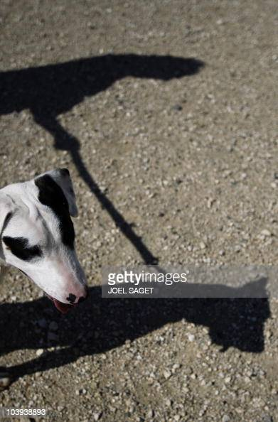 A picture taken on August 14 2010 in Montgeron south of Paris shows the shadow of a volonteer taking for a walk a dog which awaits to be adopted at...
