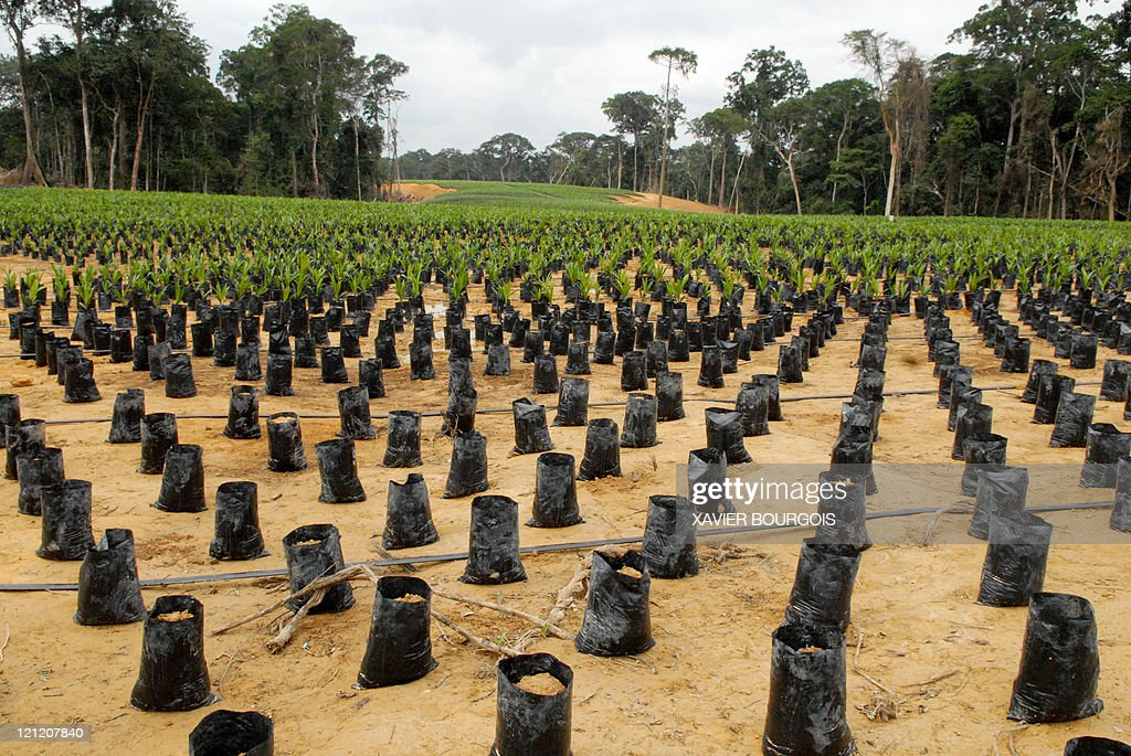 Picture taken on August 15 2011 of an oil palm nursery in Kango 60km from Libreville Gabon plans to become the leading palm oil producer in Africa in...