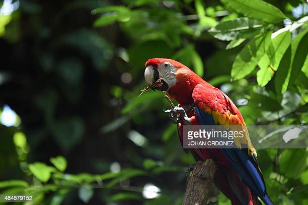 Picture taken on August 16 2015 showing a macaw at the Autosafari Chapin open zoological park in the Guanagazapa municipality Escuintla departament...